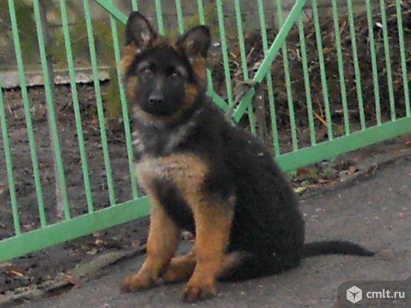 фото немецкой овчарки щенок 4 месяца