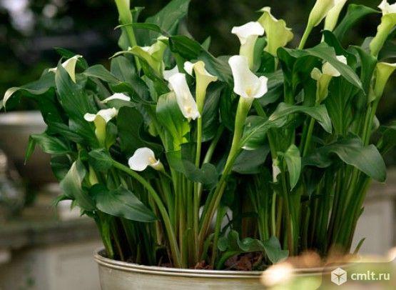 Цветок калла в домашних условиях уход