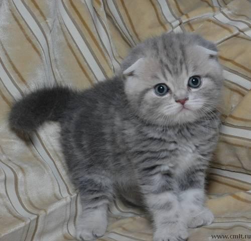 шотландские вислоухие котята один месяц фото