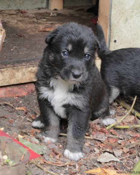 Щенки воронеж щенки, собаки и люди, котята и щенки в дар, помощь животным, добро, в добрые руки, помощь
